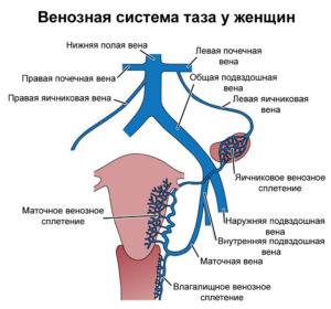 венозная система таза у женщин