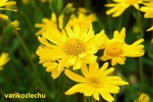 трава арника при варикозе